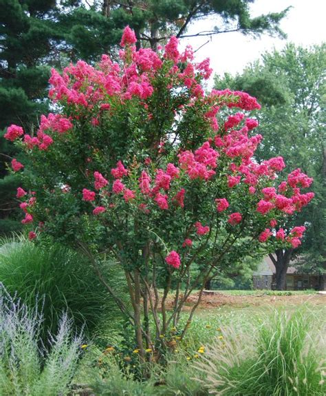 can i grow crape myrtle on island planting