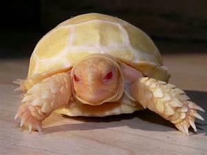 Albino turtle | I love turtles/tortoises!! | Pinterest
