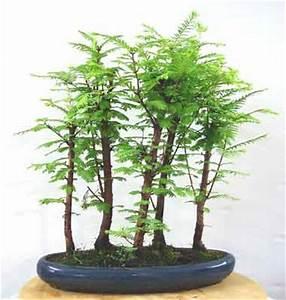 Bonsai Arten Für Anfänger : mammutbaum carmens bonsai garten online shop f r bonsai pflanzen b ume bonsai d nger schalen ~ Sanjose-hotels-ca.com Haus und Dekorationen
