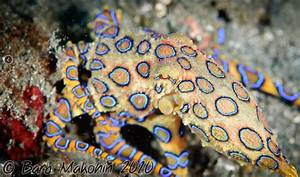 Blue Ringed Octopus Actual Size | www.imgkid.com - The ...