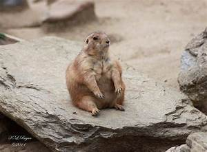 Fat prairie dog by klbryanphotography on DeviantArt