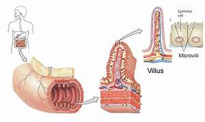 What Would Be The Result If There Were No Villi In The