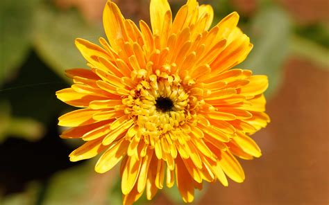 chrysanthemum hd wallpapers background images
