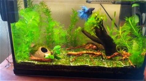aquarium pour betta splendens betta splendens bleu turquoise