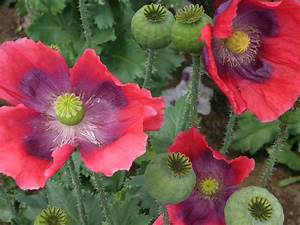 Opium Poppy Flowers (Papaver somniferum) - Opiate ...