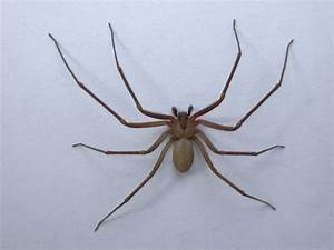 Brown Recluse Spider Information   Brown Recluse First Aid ...