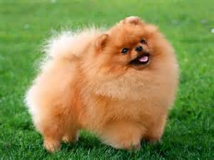 Dogs Who Dont Shed by Pomeranian Fully Grown Dog Breeds Picture