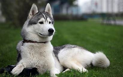 Dog Husky Wallpapers Cool Huskies Desktop Dogs