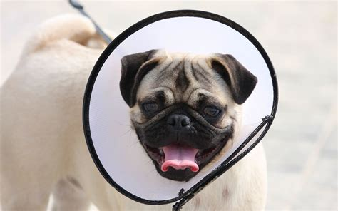 pug dog hd wallpaper gallery