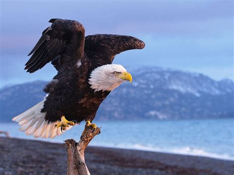 bald eagle life expectancy  years   wild hd