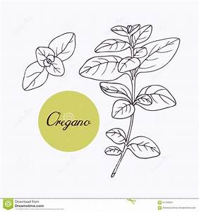 Hand drawn oregano branch stock vector. Image of herb ...