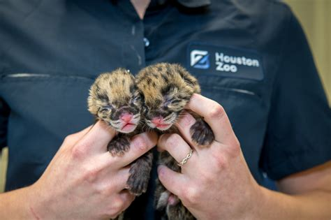 pair  clouded leopards born   zoo