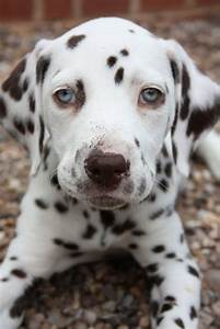 Liver Dalmatian puppy with green eyes. | Aussies. & Cattle ...