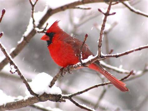 wild life cardinal wild birds