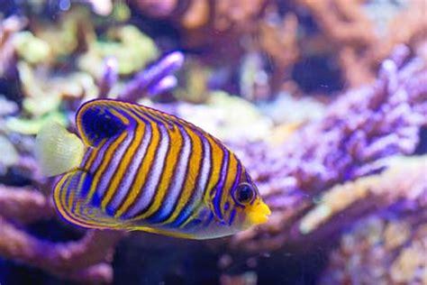colorful saltwater fish saltwater fish saltwateraquariumblog
