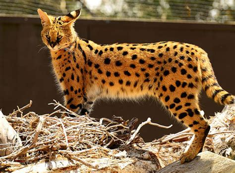 Serval Cat Breed Profile, Facts, And Information