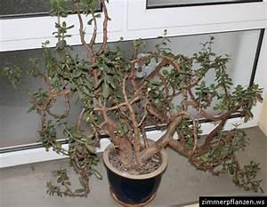 Chinesischer Geldbaum Kaufen : geldbaum crassula ovata ~ Michelbontemps.com Haus und Dekorationen