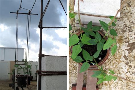 Growing Long Beans In Containers Made Super Easy And Fun