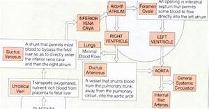Anatomy And Physiology  Fetal Circulation