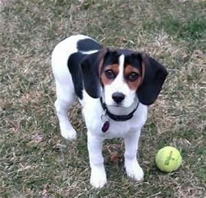 Pics For > Black Beagle