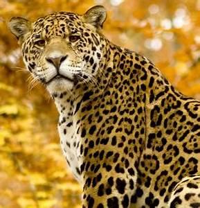Dessin Jaguar Facile : jaguar un f lin dans la jungle amazonienne ~ Maxctalentgroup.com Avis de Voitures