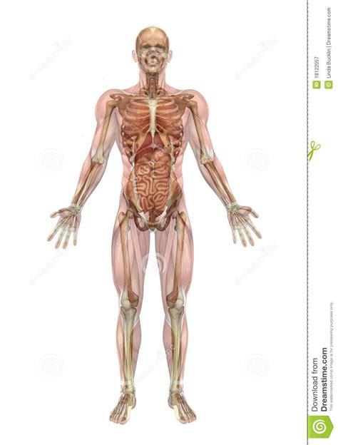 Corpo Umano Con Organi Interni Scheletro Maschio Ed Organi Interni Con I Muscoli