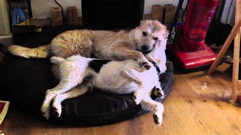 dogs play fightingloving   youtube