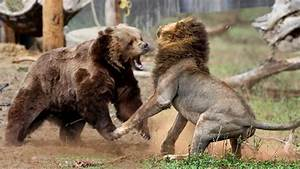 Bear Vs Lion
