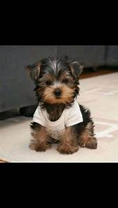 Yorkie Poo | Fur babies and cute stuff :) | Pinterest