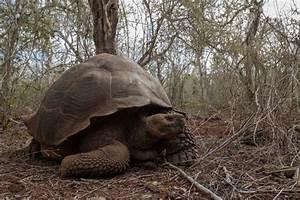 Galapagos Giant Tortoises Peopleu002639s Trust For Endangered
