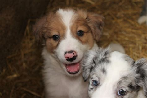 Blue Merle Border Collies Dogs For Adoption In Ballycullane Wexford From Verdict_guilty