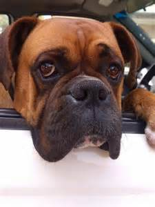 Boxer Dog with Big Head