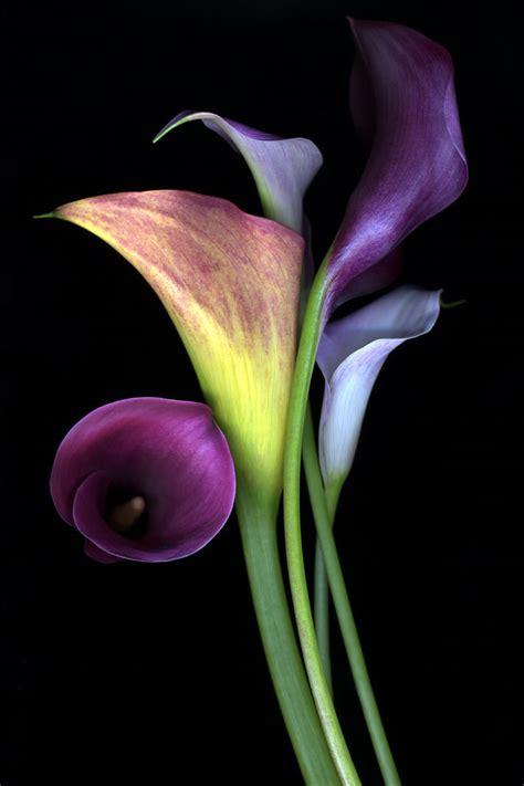 calla lilie talking about flowers the calla lily praesto acacia