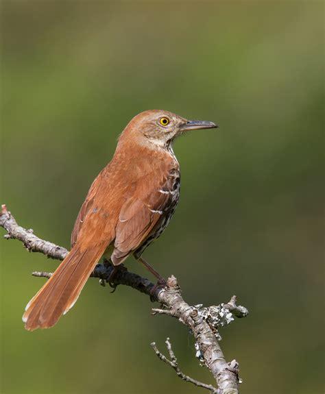 brown thrasher roads end naturalist
