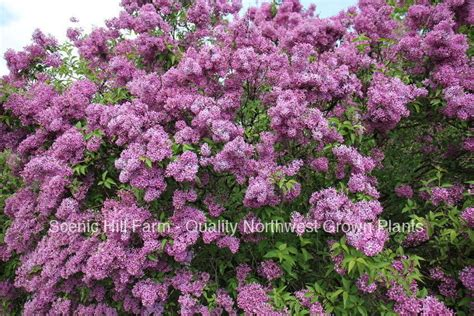 Purple Old Fashion Lilac Bush  Potted Plant The Most