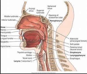 Diagram Showing Esophagus And Trachea
