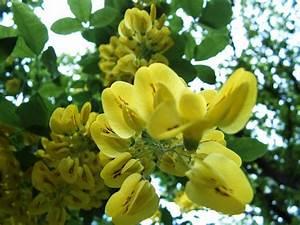 Bäume In Kübeln : b ume str ucher und kletterpflanzen goldregen laburnum ~ Lizthompson.info Haus und Dekorationen