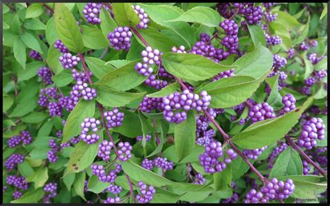 shrubs with purple berries purple beautyberry bush stephi gardens