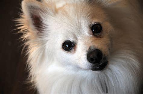 Cute White Pomeranian