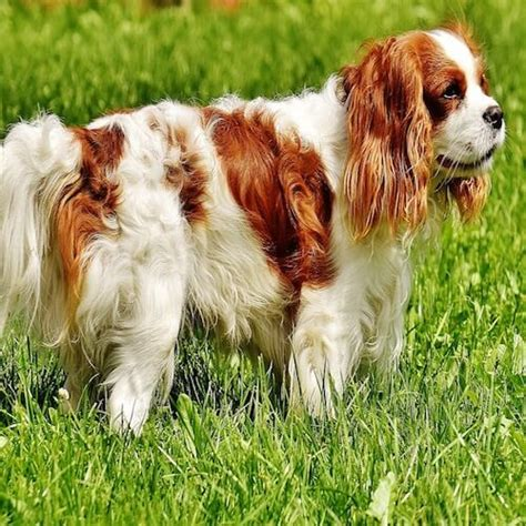 Do Spaniels Shed by Do Cavalier King Charles Spaniels Shed Much Hair Stop
