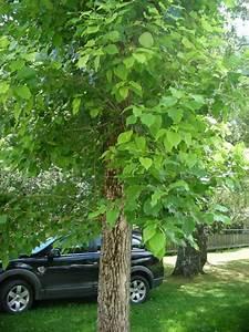 Kleiner Baum Mit Breiter Krone : kleiner baum mit gro en bl ttern populus wilsonii ~ Michelbontemps.com Haus und Dekorationen