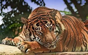 angry tiger wallpaper hd - Download Hd angry tiger hd ...