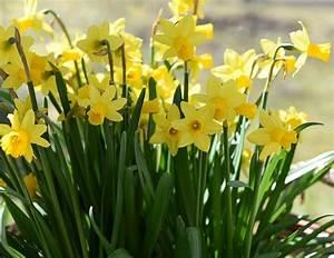 Was Sind Frühlingsblumen : fr hlingsblumen giftig f r katzen interessantes f r katzenfreunde ~ Whattoseeinmadrid.com Haus und Dekorationen