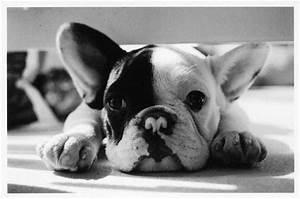 Black & White French Bulldog | Adorable Animals ...