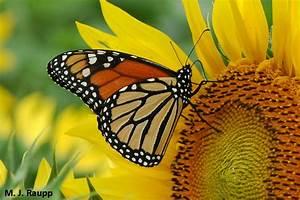 A Good Year For Monarchs  Monarch Butterfly  Danaus Plexippus  U2014 Bug Of The Week