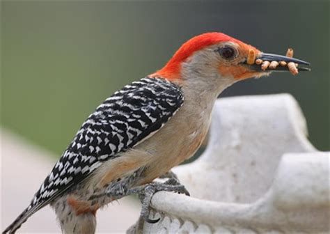 all species in the world woodpecker