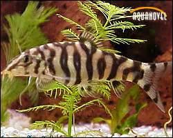 mangeur d escargot aquarium cat 233 gorie par d 233 faut page 2 6