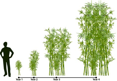 where will bamboo grow how does bamboo grow lewis bamboo
