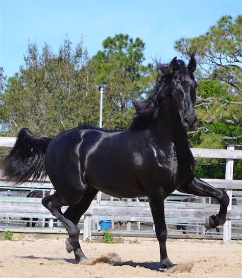 horses andalusian andalusians stallion breeding sol del tradition tornado hds