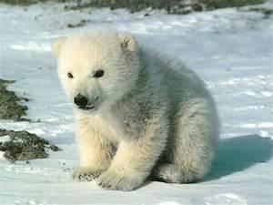 Polar Bear And Baby Baby Polar Bear Wallpapers Wallpaper Cave